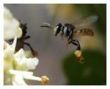 najmanja pčela