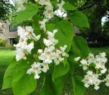 Cvijet katalpe